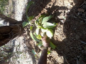 QUALITY LAND AND MANGOS UP TO THE ROOT LEVEL